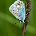 Blue Butterfly On Grass by Brothers Beerens