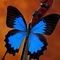 Blue Butterfly On Violin by Garry Gay