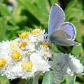 Blue Butterfly On White Flowers by Karen Molenaar Terrell
