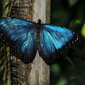 Blue Butterfly by Patrick  Short