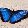 Blue Buttterfly by Steve Ondrus