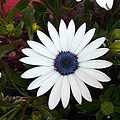 Blue Center Daisy by Caroline  Urbania Naeem