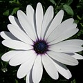 Blue Center Daisy by Valerie Ornstein