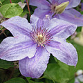 Blue Clematis by Margie Wildblood