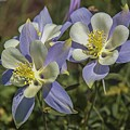 Blue Columbine At Flattops Wilderness Area by NaturesPix