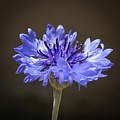 Blue Cornflower by Laurel Powell