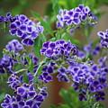 Blue Cottage Flowers by Carol Groenen