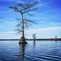 Blue Cypress by Alan Raasch