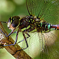 Blue Darner by Randy Hall