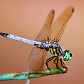 Blue Dasher Dragonfly by Betty LaRue