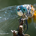 Blue Dasher Dragonfly by Brad Boland