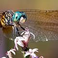Blue Dasher Dragonfly Resting by Brad Boland