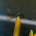 Blue Dhasher Dragonfly by September  Stone