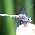 Blue Dragon by Shoal Hollingsworth