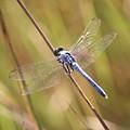 Blue Dragonfly Against Green Grass by Carol Groenen