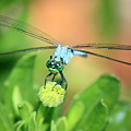 Blue Dragonfly And Bud by Carol Groenen