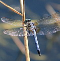 Blue Dragonfly by Carol Groenen