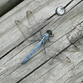 Blue Dragonfly by Kathy Schumann