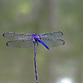 Blue Dragonfly by Lisa Stanley
