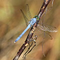 Blue Dragonfly Portrait by Carol Groenen