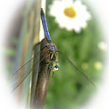 Blue Dragonfly Summer by Ola Allen