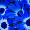 Blue Daisies, Medford Oregon by Tirza Roring