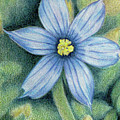 Blue Eyed Grass - 1 by Beverly Fuqua