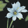 Blue Eyed Grass - 2 by Beverly Fuqua