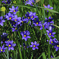 Blue Eyed Grass by Robyn Stacey