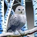 Blue-eyed Snow Owl by Glenn Holbrook