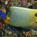 Blue Face Angelfish by Steve Rosenberg - Printscapes