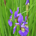 Blue Flag Iris-1  by Shirley Heyn