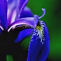 Blue Flag Iris by Smilin Eyes  Treasures