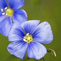 Blue Flax #2 by Meagan Watson