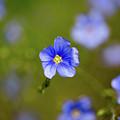 Blue Flax #4 by Meagan Watson