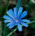 Blue Chicory Flower by Trinket's  Legacy