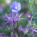 Blue Flax Wildflower With Purple Allium In Foreground by Barbara Rogers Nature Inspired Art Photography