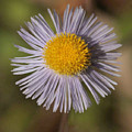 Blue Fleabane by Matt Cormons