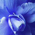Blue Floral Begonia by Jennie Marie Schell