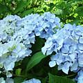 Blue Floral Hydrangea Flower Summer Garden Basle Troutman by Baslee Troutman