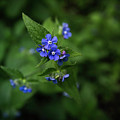 Blue Flower In Spring by Matt De Moraes