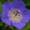 Blue Flower  by Martina Fagan