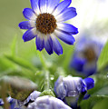 Blue Flowers by Camelia C