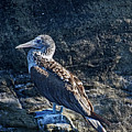 Blue-footed Booby Prize by John Haldane