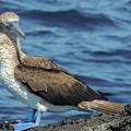 Blue-footed Booby  Puerto Egas James Bay Santiago James Island Galapagos Islands by NaturesPix