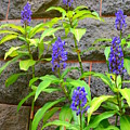 Blue Ginger At The Wall by Mary Deal