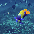 Blue-girdled Angelfish, Indonesia by Pauline Walsh Jacobson