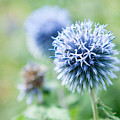 Blue Globe Thistle Flower by Helen Northcott