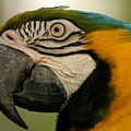 Blue Gold Macaw South America by Ralph A  Ledergerber-Photography