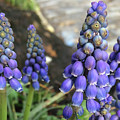 Blue Grape Hyacinths by Clay Cofer